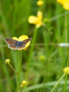 Male Brown Argus Aricia agestis (Fr. Collier-de-corail),