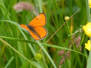 Large Copper Lycaena dispar (Fr. Cuivre des marais),