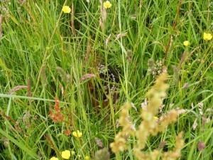 A Roe Deer Capreolus capreolus fawn (Fr. Faon) hidden in the long grass.
